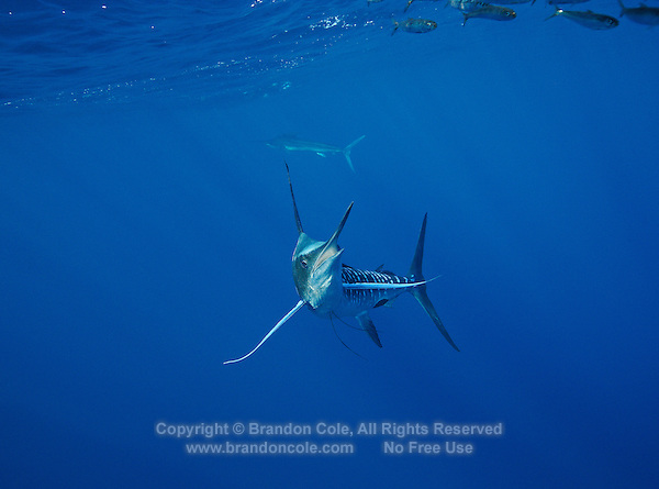 qf2828-D. Striped Marlin (Tetrapturus audax), feeding on Pacific Sardines (Sardinops sagax). Baja, Mexico, Pacific Ocean..Photo Copyright © Brandon Cole. All rights reserved worldwide.  www.brandoncole.com..This photo is NOT free. It is NOT in the public domain. This photo is a Copyrighted Work, registered with the US Copyright Office. .Rights to reproduction of photograph granted only upon payment in full of agreed upon licensing fee. Any use of this photo prior to such payment is an infringement of copyright and punishable by fines up to  $150,000 USD...Brandon Cole.MARINE PHOTOGRAPHY.http://www.brandoncole.com.email: brandoncole@msn.com.4917 N. Boeing Rd..Spokane Valley, WA  99206  USA.tel: 509-535-3489