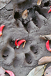Jaguar footprints, Tambopata-Candamo National Reserve, Peru
