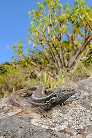 A female Wall Lizard (Gallotia caesaris), endemic, La Gomera, Canary Islands