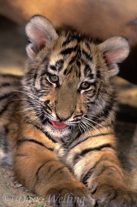 683999185 a captive bengal tiger cub panthera tigris stares at the camera and this animal is a wildlife rescue