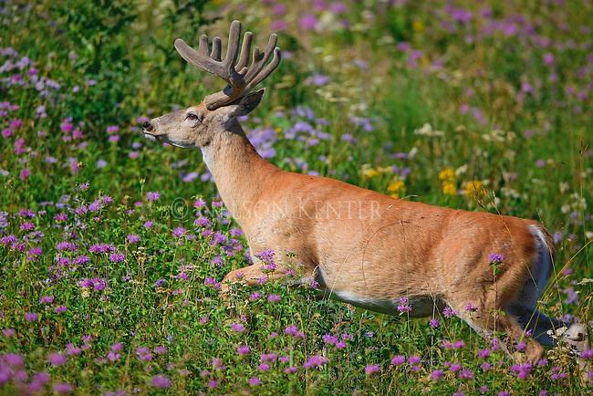 Whitetail buck in a field of wildflowers in Montana