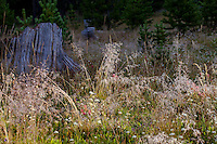 Deschampsia cespitosa, tufted hairgrass, California native grass in Sierra meadow
