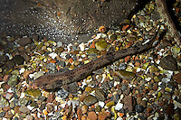 Kleingefleckter Katzenhai, Kleiner Katzenhai, Scyliorhinus canicula, Scyllium canicula, lesser spotted dogfish, smallspotted dogfish, rough hound, smallspotted catshark