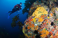 qj0579-D. scuba diver (model released) swims along reef wall ablaze with colorful sponges. Poor Knights Islands Marine Reserve, New Zealand, Pacific Ocean.<br /> Photo Copyright &copy; Brandon Cole. All rights reserved worldwide.  www.brandoncole.com<br /> <br /> This photo is NOT free. It is NOT in the public domain. This photo is a Copyrighted Work, registered with the US Copyright Office. <br /> Rights to reproduction of photograph granted only upon payment in full of agreed upon licensing fee. Any use of this photo prior to such payment is an infringement of copyright and punishable by fines up to  $150,000 USD.<br /> <br /> Brandon Cole<br /> MARINE PHOTOGRAPHY<br /> http://www.brandoncole.com<br /> email: brandoncole@msn.com<br /> 4917 N. Boeing Rd.<br /> Spokane Valley, WA  99206  USA<br /> tel: 509-535-3489