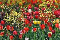 Tulips in spring garden