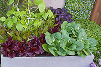 Vegetable Garden with Vertical Growing & Container of galvanized steel, red lettuce, beans on trellis, pak choi in green and purple, oak leaf lettuce, chives in bloom, boxwood shrub buxus, patio wall