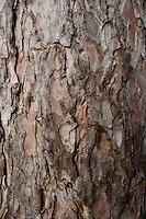 Scotch Pine 'Pinus sylvestris L.' bark