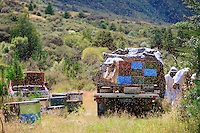 The harvest of Manuka honey has begun and the beekeepers go from apiary to apiary, opening the hives and extracting the honeycombs.  The varroa was late in coming to New Zealand but today beekeepers are obliged to treat the hives immediately following the harvest.