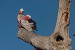 Galahs (Eolophus roseicapilla) outside its nest.