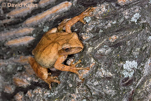 0302-0904  Spring Peeper Frog Climbing Tree Bark, Pseudacris crucifer (formerly: Hyla crucifer)  © David Kuhn/Dwight Kuhn Photography