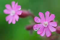 Silene dioica; Red Campion, Malbun, Lichtenstein