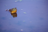 Bull Frog in Blue water