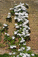 Clematis 'Tsuziki', white flowered climbing perennial vine trellised against a brick wall