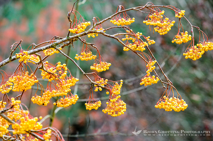 Norway, Sandnes. Colourful rowan berries in Rogaland Arboret.