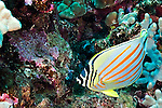 Ornate Butterflyfish, Chaetodon ornatissimus, Cuvier, 1831, First Cathedral, Lanai Hawaii