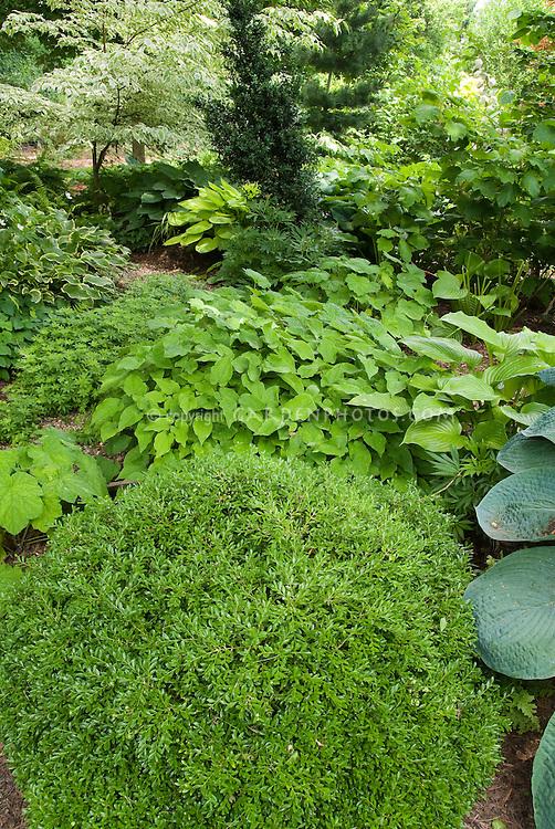 Shady garden perennials hostas, epimedium, Galium odoratum sweet woodruff, ferns, boxwood Buxus Green Velvet