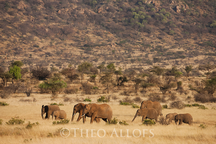 Kenya, Samburu, elephant breeding crossing savannah