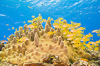 schooling French grunts, Haemulon Flavolineatum, and smallmouth grunts, Haemulon chrysargyreum, over pillar coral, Dendrogyra cylindrus, Sugar Wreck - remains of an old sailing ship grounded many years ago, Grand Bahamas, Bahamas, Atlantic Ocean