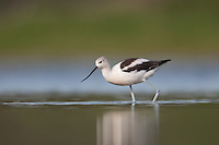 American Avocet (Recurvirostra americana) searching for food, East Pond, Jamaica Bay Wildlife Refuge