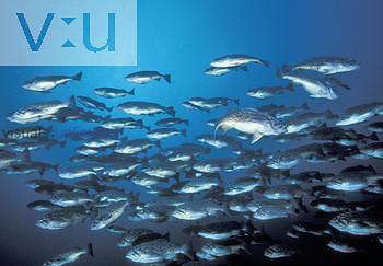 School of Blue Rockfish ,Sebastes mysticus, in a Kelp Forest, California, USA.
