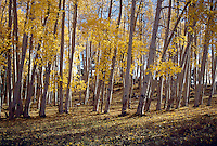 FALL FOLIAGE<br /> Aspen Stand<br /> North Rim Grand Canyon