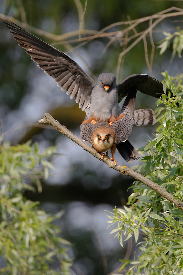 Red Footed Falcon (Falco vespertinus) in the Danube Delta, Romania. May 2009 <br /> Mission: Danube Delta