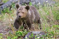 Grizzly bear cub walking through a field - CA