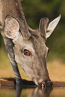 White-tailed Deer (Odocoileus virginianus), buck drinking, Rio Grande Valley, Texas, USA
