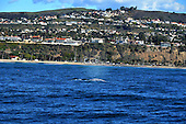 Stock photo of grey whale off Dana Point