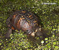 1003-0817  Male Eastern Box Turtle Diving Under Water with Watercress - Terrapene carolina © David Kuhn/Dwight Kuhn Photography