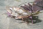 La Jolla Underwater Ecological Reserve, La Jolla, California; a mating pair of Xantus' Swimming Crabs (Portunus xantusii) sit amongst Eccentric Sand Dollars (Dendraster excentricus) on the sandy bottom