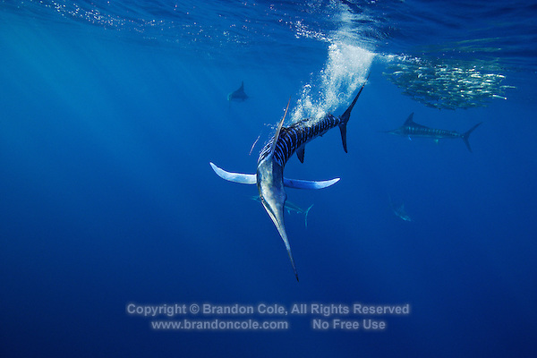 qf2764-D. Striped Marlin (Tetrapturus audax), feeding on Pacific Sardines (Sardinops sagax). Baja, Mexico, Pacific Ocean..Photo Copyright © Brandon Cole. All rights reserved worldwide.  www.brandoncole.com..This photo is NOT free. It is NOT in the public domain. This photo is a Copyrighted Work, registered with the US Copyright Office. .Rights to reproduction of photograph granted only upon payment in full of agreed upon licensing fee. Any use of this photo prior to such payment is an infringement of copyright and punishable by fines up to  $150,000 USD...Brandon Cole.MARINE PHOTOGRAPHY.http://www.brandoncole.com.email: brandoncole@msn.com.4917 N. Boeing Rd..Spokane Valley, WA  99206  USA.tel: 509-535-3489
