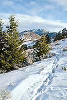 Wolf tracks in the snow in the Shoshone National Forest Wyoming
