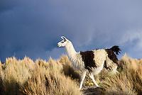 A llama in Sajama National Park.