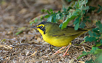 591970006 a wild male kentucky warbler geothlypis formosa - was opronis formosum -  forages for insects on the ground on south padre island cameron county texas united states