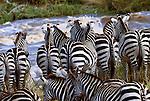 Grant's zebras mass migration, Masai Mara National Reserve, Kenya