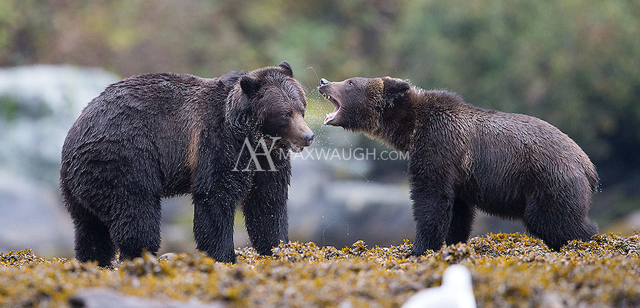 This pair of grizzly bears provided one of the highlights of the trip.  They followed each other, wrestled and played for hours.