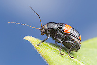 A Case-bearing Leaf Beetle (Bassareus mammifer) stands at the end of a milkweed plant leaf.