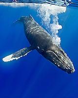 Humpback whale, Megaptera novaeangliae, blowing underwater, Hawai'i.