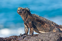 Marine iguana, James Bay, Stantiago Island, Galapagos Islands, Ecuador.
