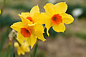 Daffodil (Narcissus 'Eny's'), mid February.