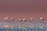 Altiplano, Bolivia , Eduardo Abaroa Andean Fauna National Reserve, Laguna Colorada, flamingos