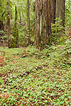 Long-tailed ginger, Asarum caudatum, redwood sorrel, Oxalis oregana, and coast redwood, Sequoia sempervirens, in Big Hendy Grove, Hendy Woods State Park, California