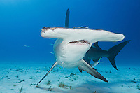 great hammerhead shark photos