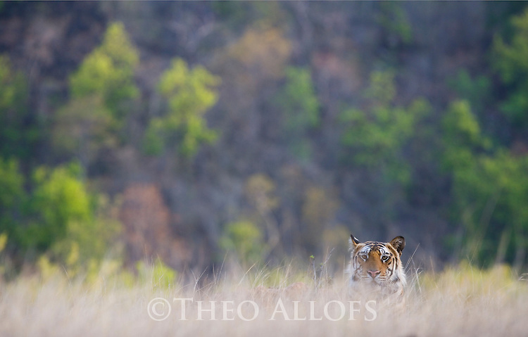 Male Bengal tiger (Panthera tigris) lying in dry grass on hill, dry season, April