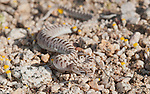Juvenile Mojave glossy snake, Arizona elegans candida (Arizona occidentalis candida), in the Alabama Hills near Lone Pine, California
