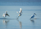 Snowy egrets and a great egret fish near Cuttings Wharf Road, Napa River, Napa, CA USA.
