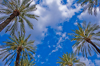 Palm, Tree, palm, tree s, CA, Fan Palm, native, Arecaceae, Palmae, Palmaceae California, palm, leaves High dynamic range imaging (HDRI or HDR)