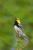 591850014 a wild federally endangered male golden-cheeked warbler setophaga chrysoparia - was dendroica chrysoparia - perches in a fir tree singing on balcones canyonlands national wildlife refuge travis county texas