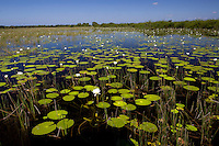 A wide view showing lily pads and flowers in a marsh in Belize.